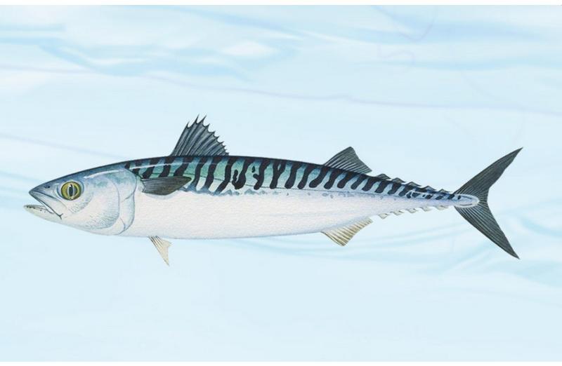 鲭鱼(Pacific mackerel)