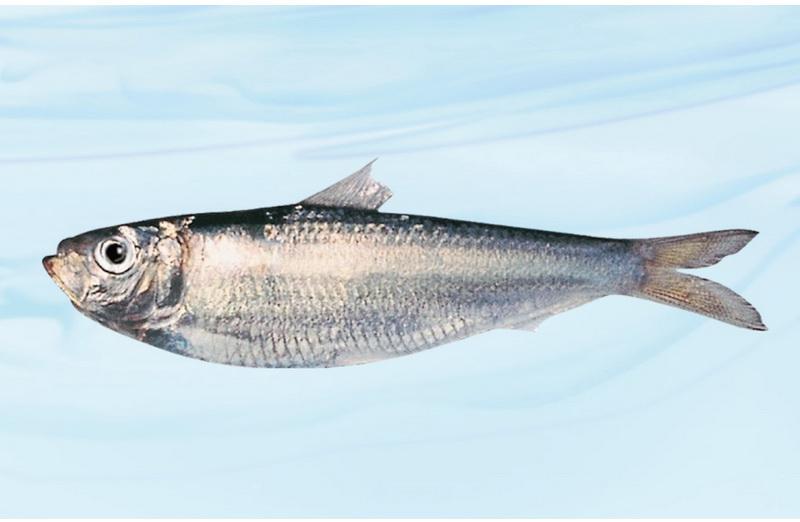 沙丁鱼(Sardine)